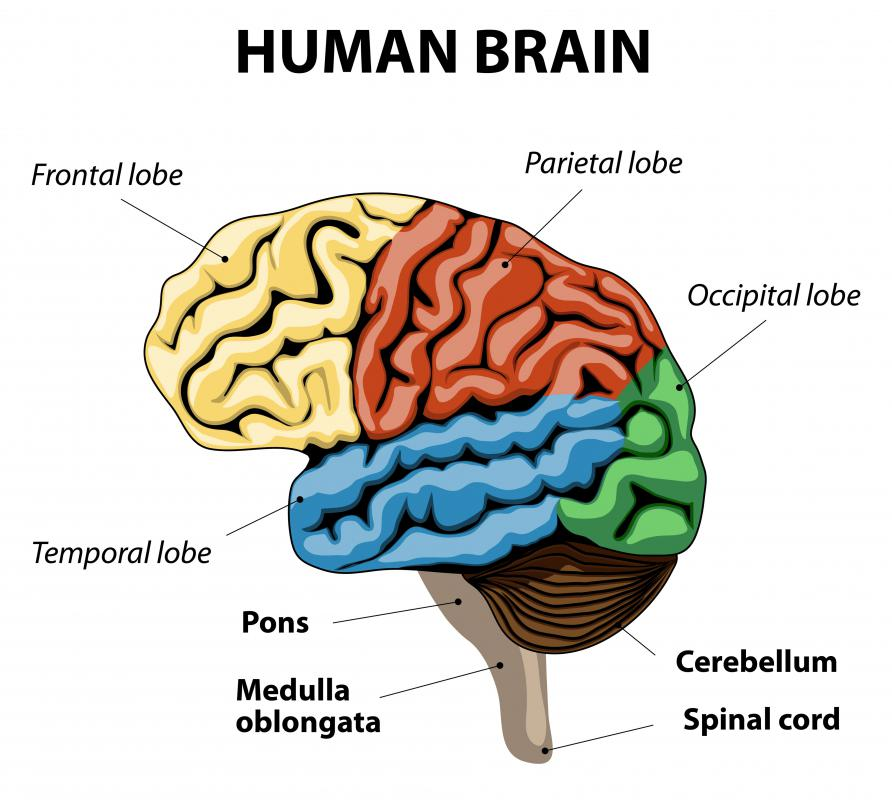 The frontal bone forms a part of the structure that holds the frontal lobes of the brain.