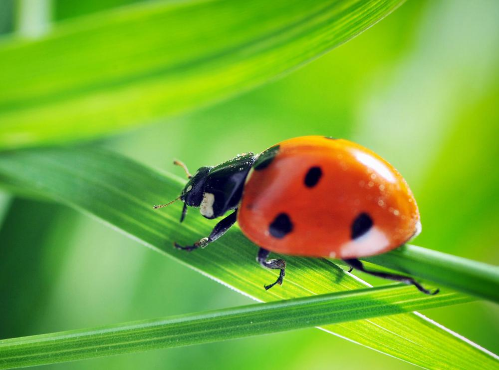 Ladybugs are usually mailed in a mesh bag in a ventilated box and released into gardens for pest control.