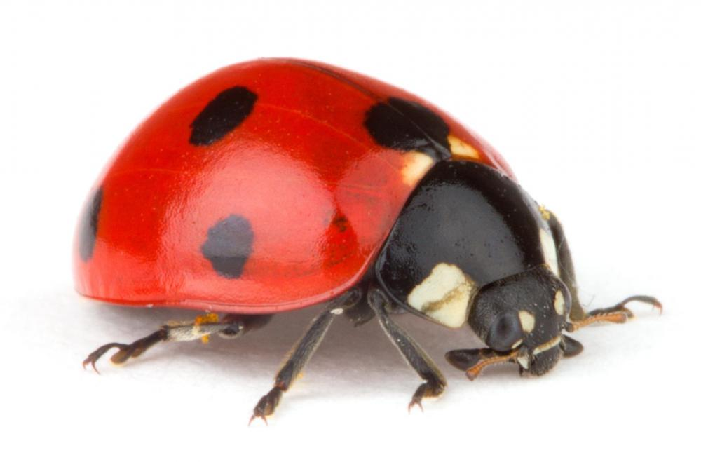 Ladybugs can be helpful in controlling the populations of insect pests.
