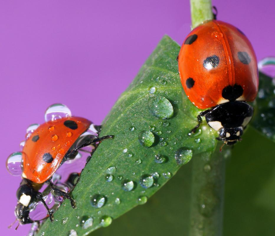 Ladybugs are considered beneficial insects.