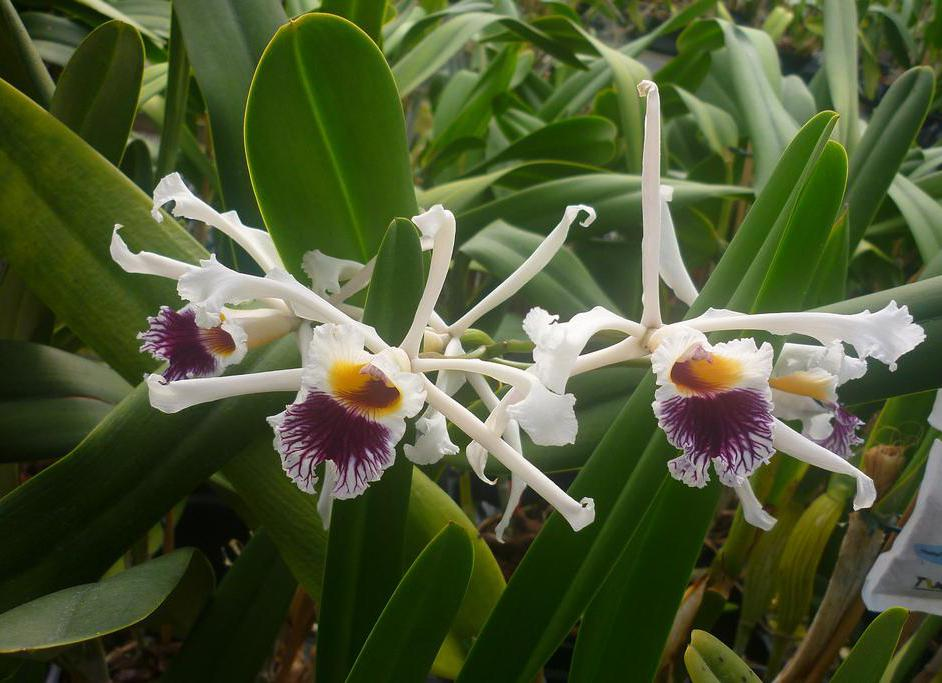 The Laelia is a member of the orchid family.