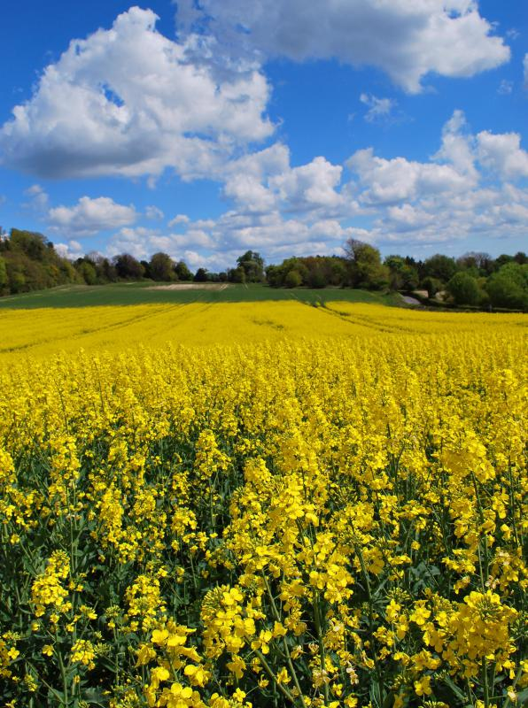 A large field of rapeseed.