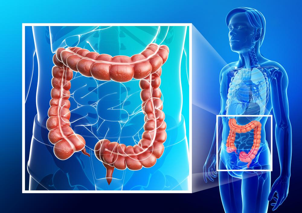The ascending colon is the part of the large intestine that continues the bacterial breakdown of fecal matter.