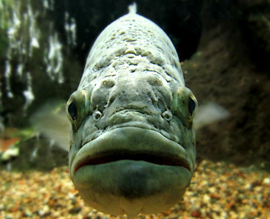 Golden shiners sometimes deposit their eggs in the nests of largemouth bass, which are known to protect them.