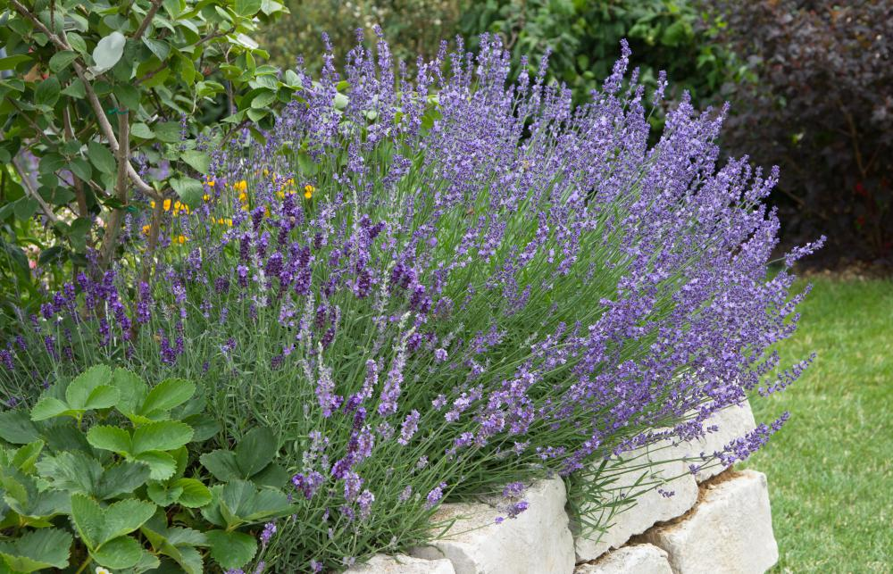 Lavender is a good choice for an indoor herb garden.