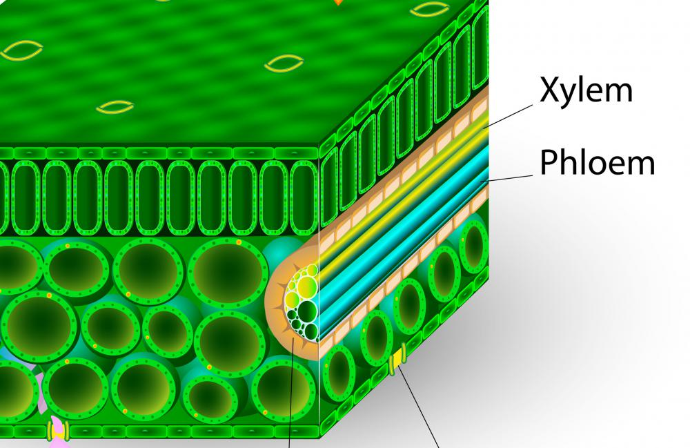 All angiosperms transport materials within the plant itself via xylem and phloem.