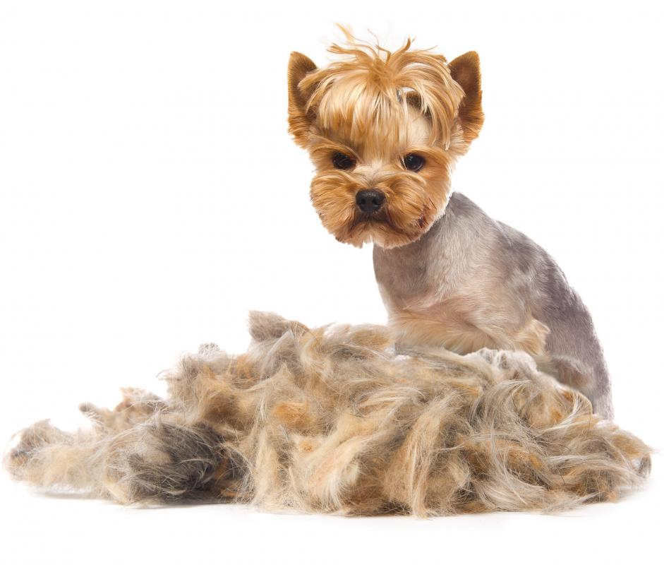 Yorkshire terriers often are lighter than seven pounds.