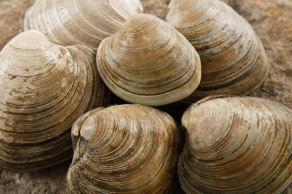Clams, a type of shellfish.