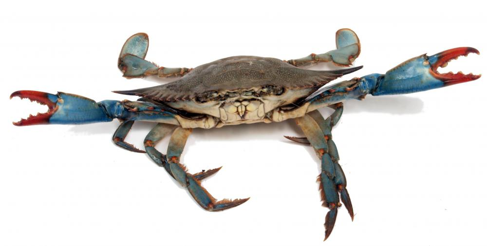 Blue crabs have eyestalks.