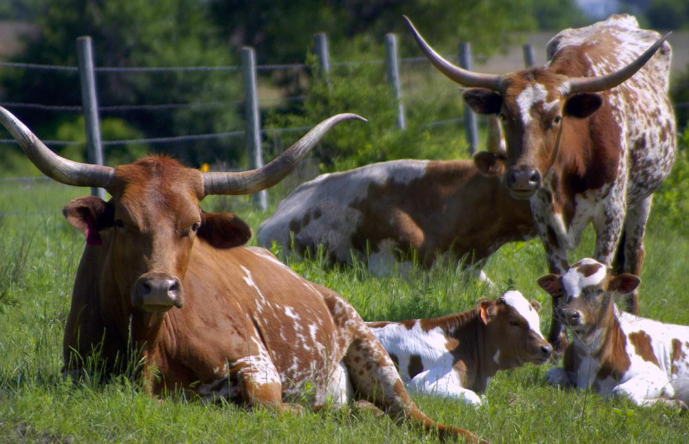 The large mammal state animal of Texas is the longhorn.