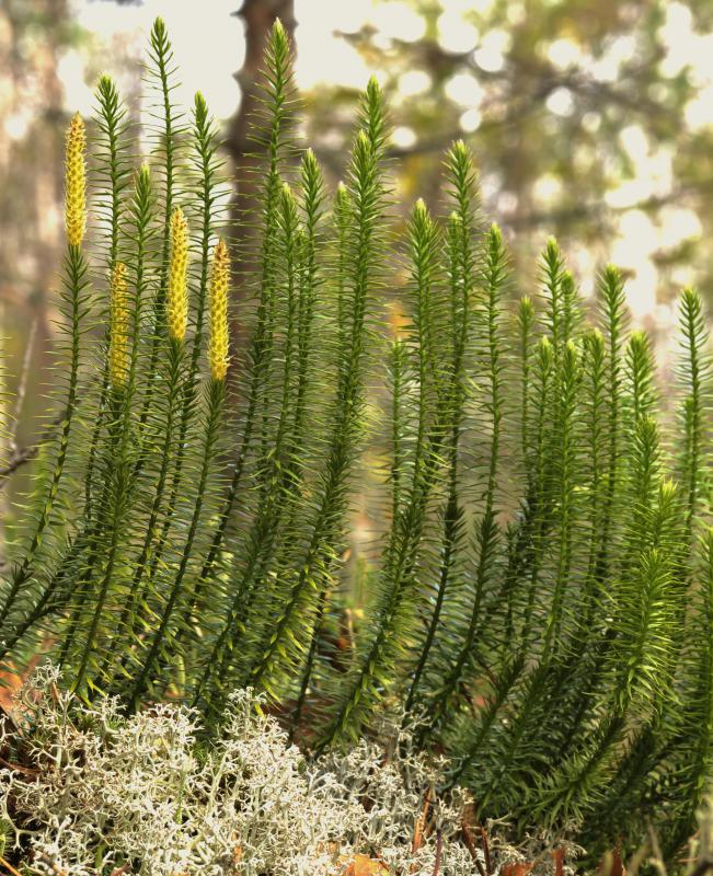 Lycopodium, an herbal remedy for ear ringing or humming, is derived from the evergreen lycopodium clavatum plant.