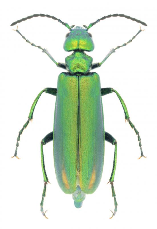 Cantharidin, a substance obtained from beetles, may be used to remove warts.