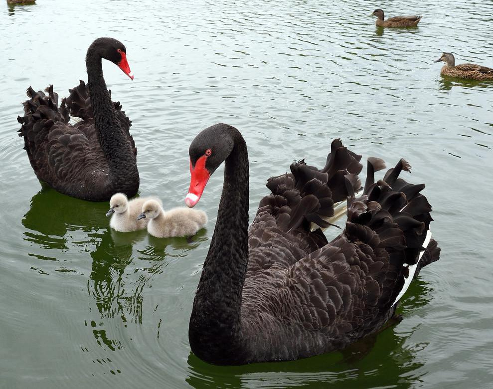 The feathers of the mature black swan are completely black, with the exception of some white on the wingtips.
