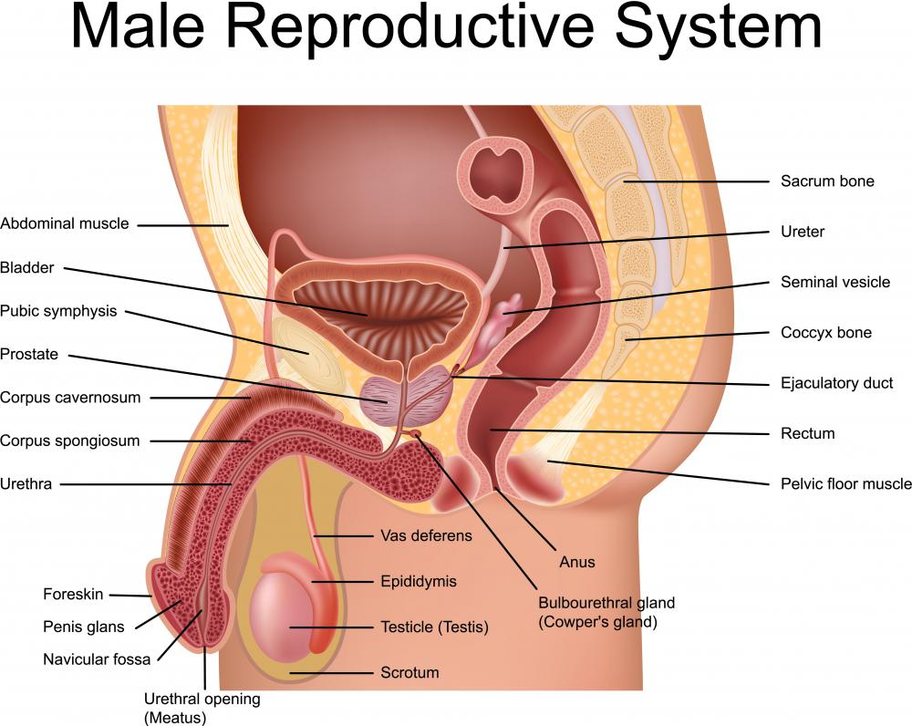 Perineum diagram male