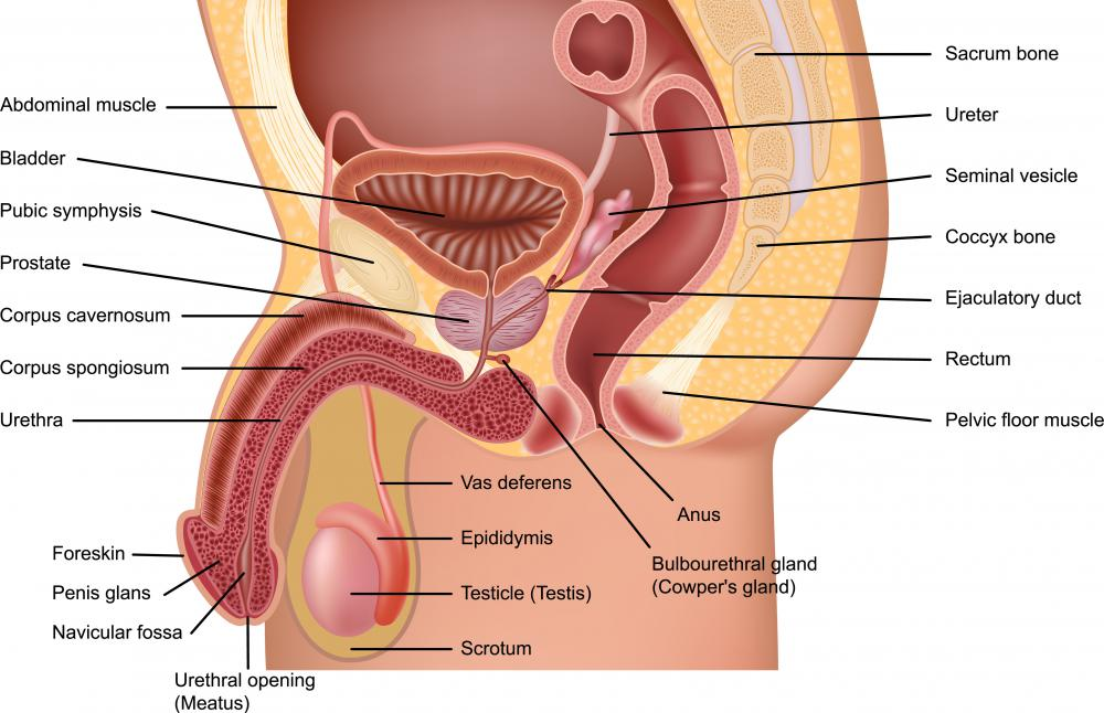 The vas deferens is part of a man's spermatic cord.