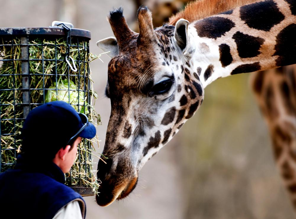 Animal nutritionists may gain experience working at a local zoo.