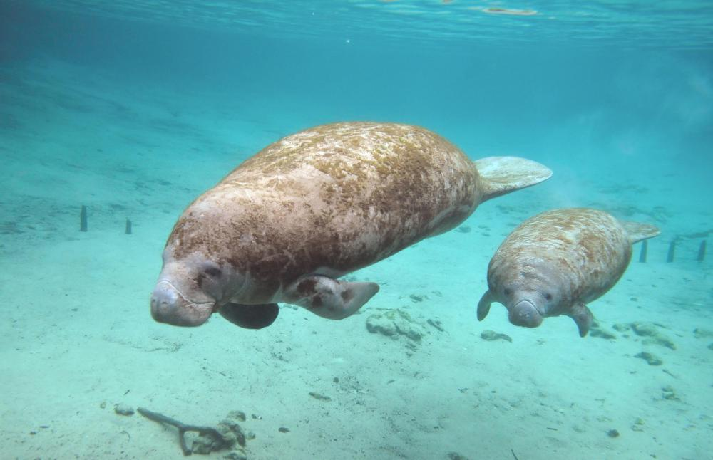 Many creatures, such as the Florida manatee, have adapted to brackish environments.