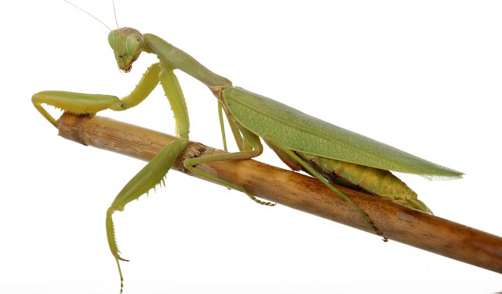 Making a garden hospitable to praying mantises can help get rid of pests.