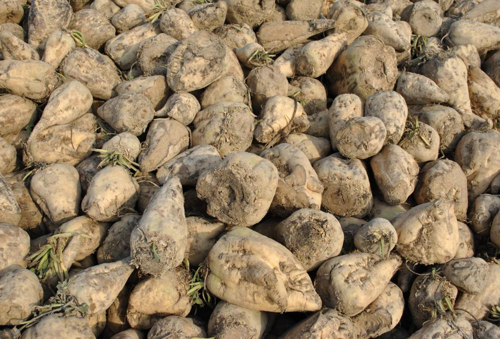 Sugar beets do well in almost any climate.