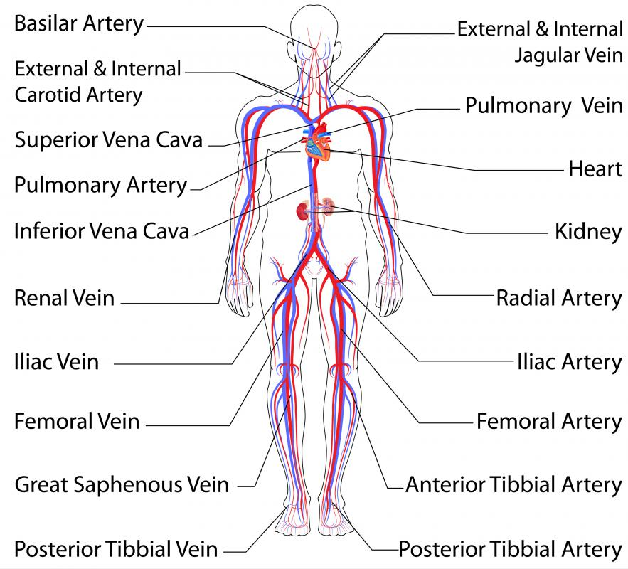 What Is The Femoral Vein With Pictures