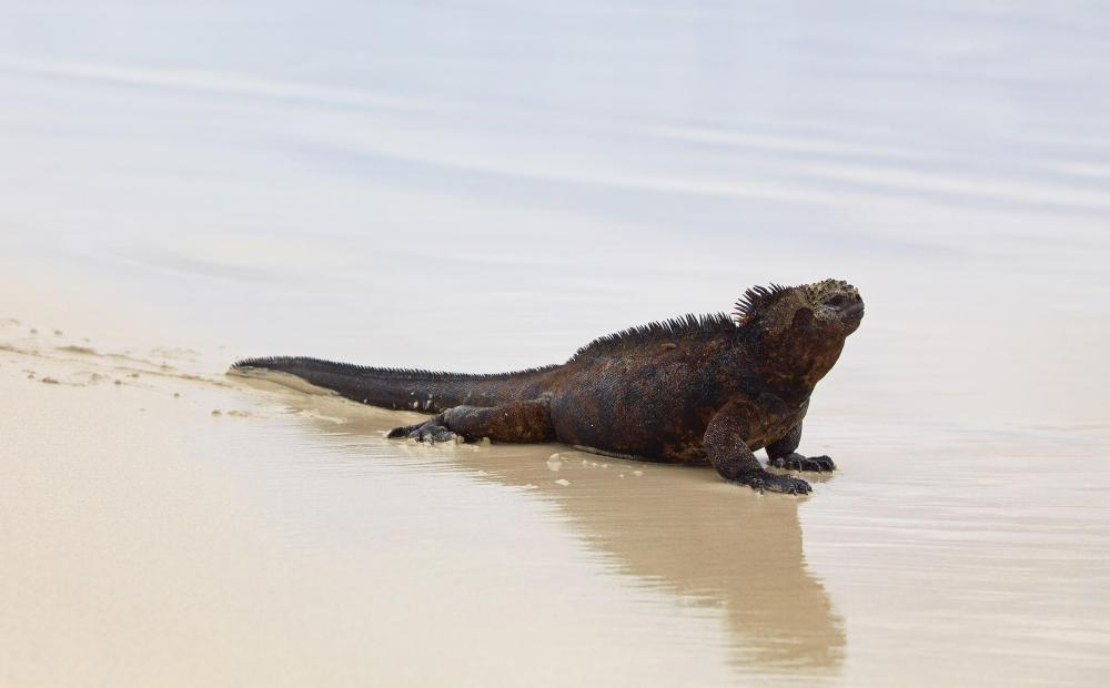 The Galapagos marine iguana is one of the only predominantly marine lizards alive today.