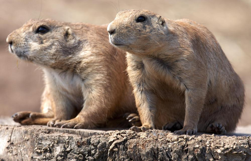 Marmots are part of the same order of rodents as squirrels and chipmunks.