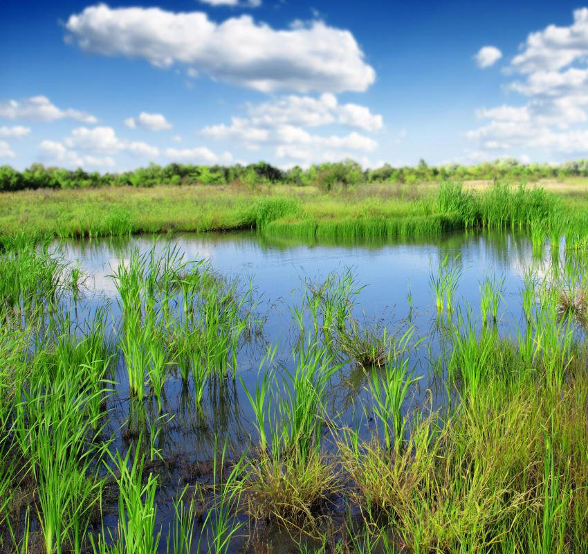 Reeds can usually be found in wetland areas.