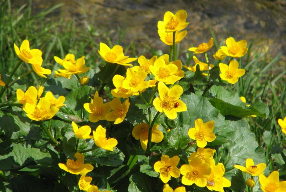 The flowers of the marsh marigold resemble large buttercups.