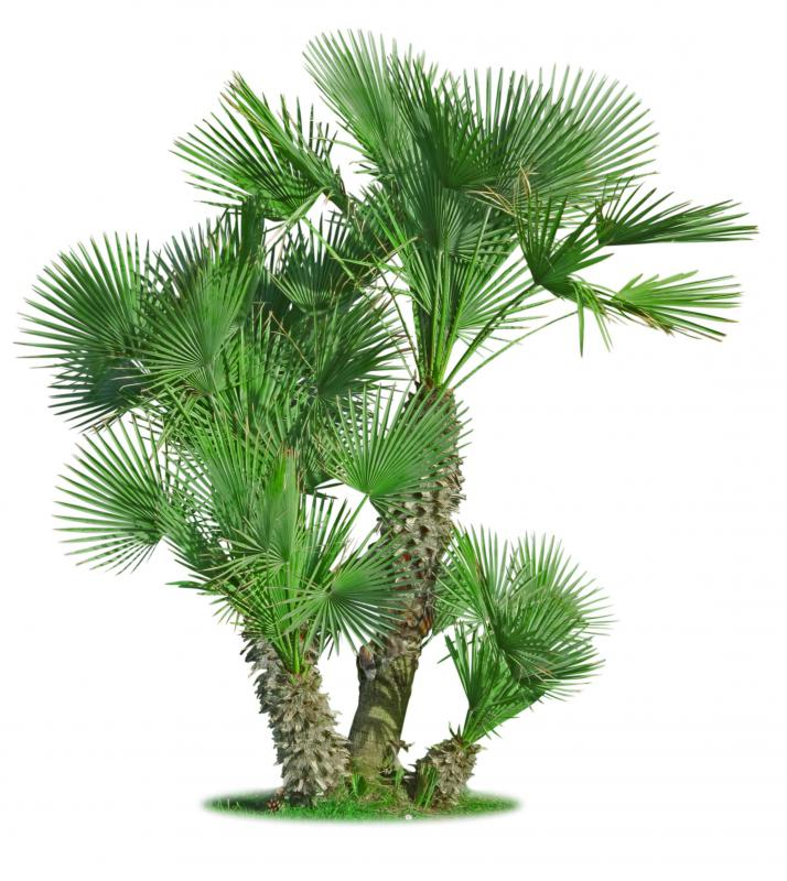 There are about 2,600 species of palm trees, and most grow in tropical or subtropical areas.
