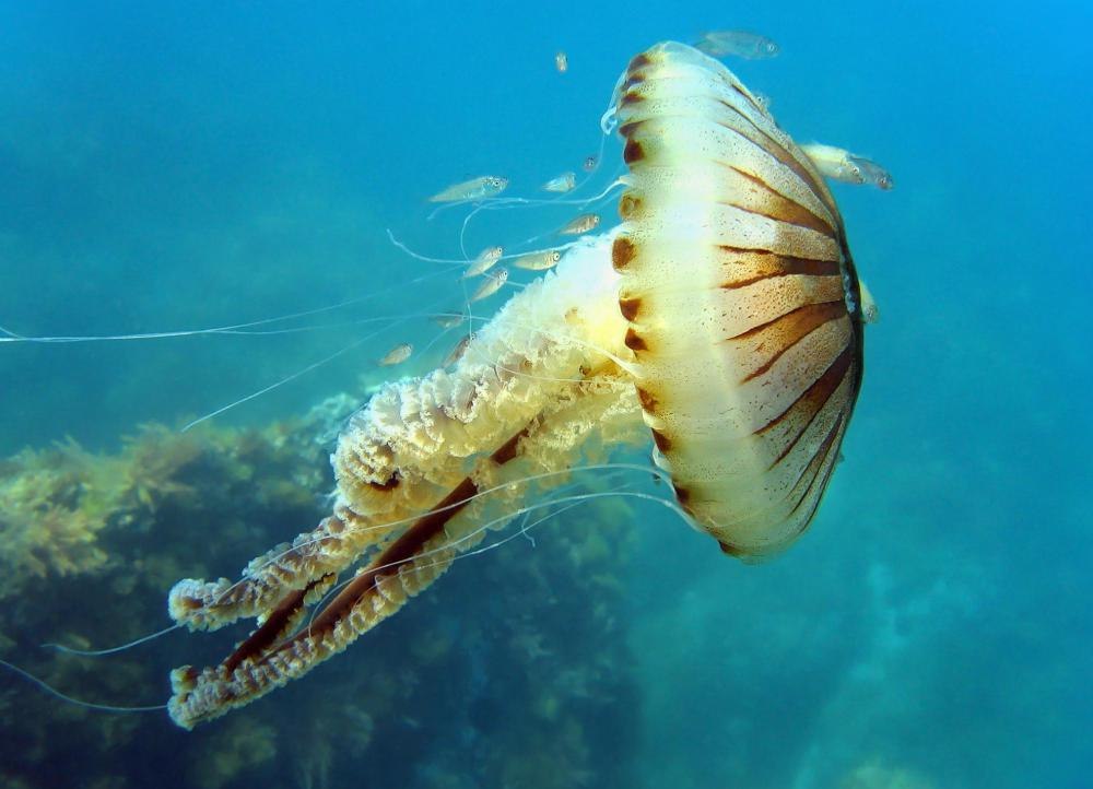 Jellyfish are among the cnidarian phylum.