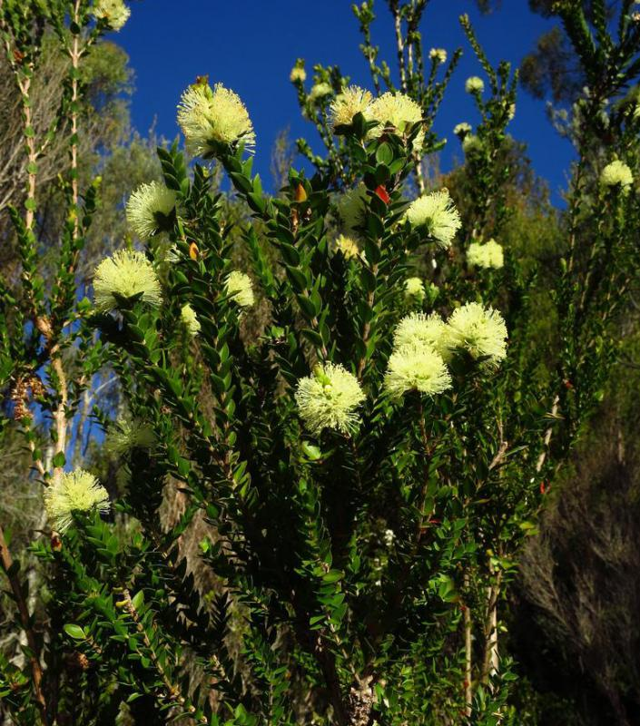 Tea tree oil, which is used to make antibacterial cream, is made by steaming the leaves of the melaleuca plant.