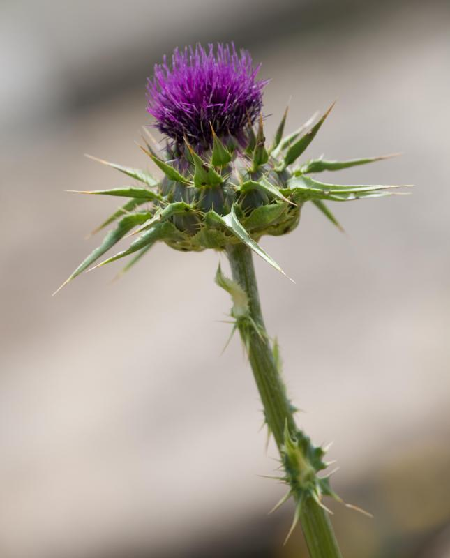 Milk thistle plants can help alleviate certain conditions.