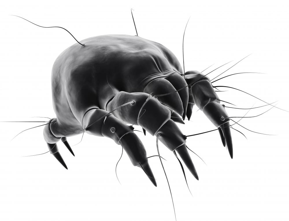 What Are Dust Mites   With Pictures