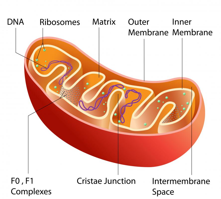 Solanine affects the mitochondria of cells.