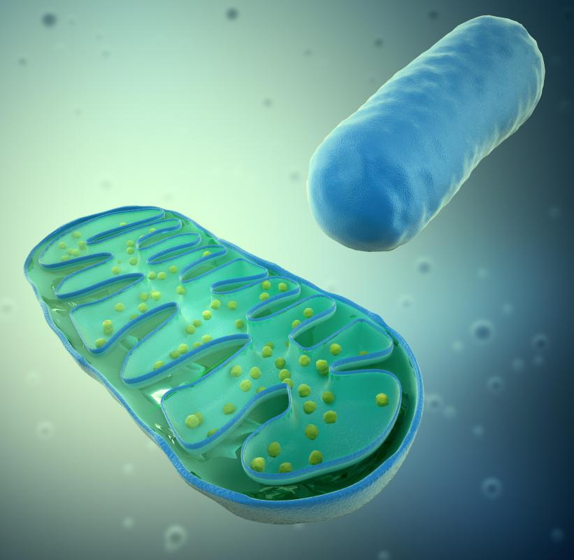 Mitochondria convert adenosine diphosphate (ADP) is converted to adenosine triphosphate (ATP), a form of chemical energy.