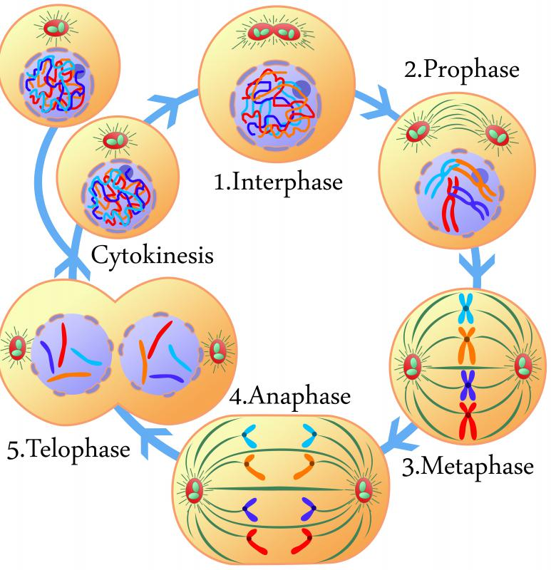 What is Cytokinesis? (with pictures)