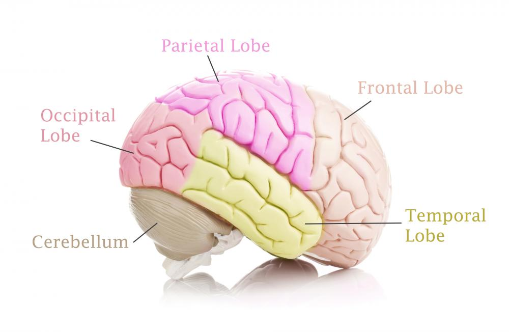 The entorhinal cortex is situated in the medial temporal lobe, underneath the cerebral cortex and close to the hippocampus.