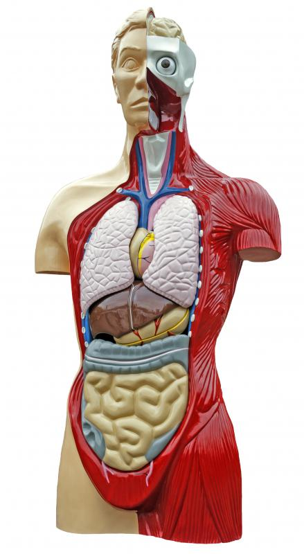 what is clinical anatomy? (with pictures), Human Body