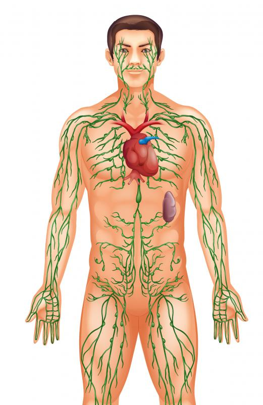 Mature lymphocytes travel through the lymphatic system and help fight disease.