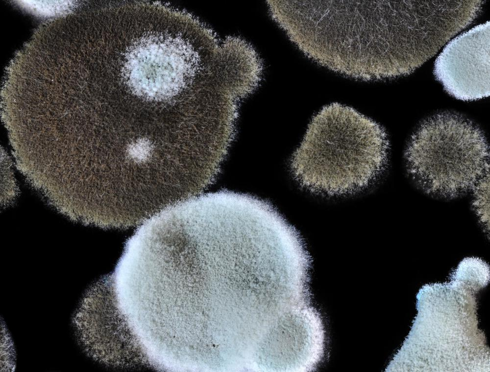 Black toxic mold grows in a distinctive circular pattern.