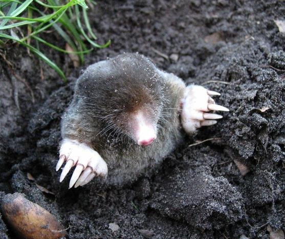 Although moles can wreak havoc in yards and gardens across Britain, they aren't found anywhere in Ireland.