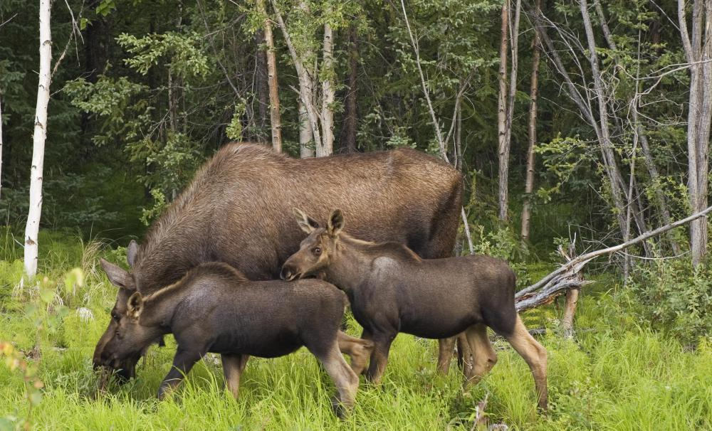 Female moose are referred to as cow moose.