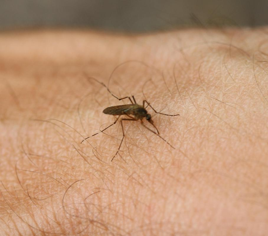 Carried by mosquitoes, yellow fever is a disease which can cause bleeding pores in people who have  low amounts of specific proteins that allow the blood to clot sufficiently.