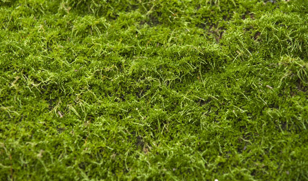 Mosses are common in tropical forests.