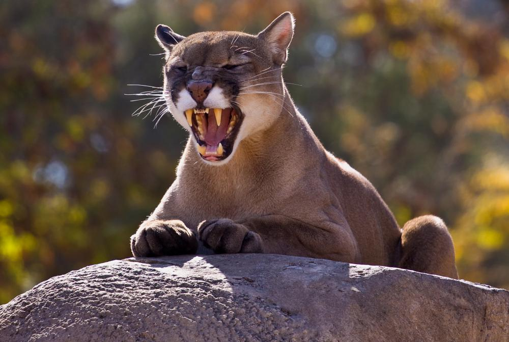 Mountain lions are common forest species.