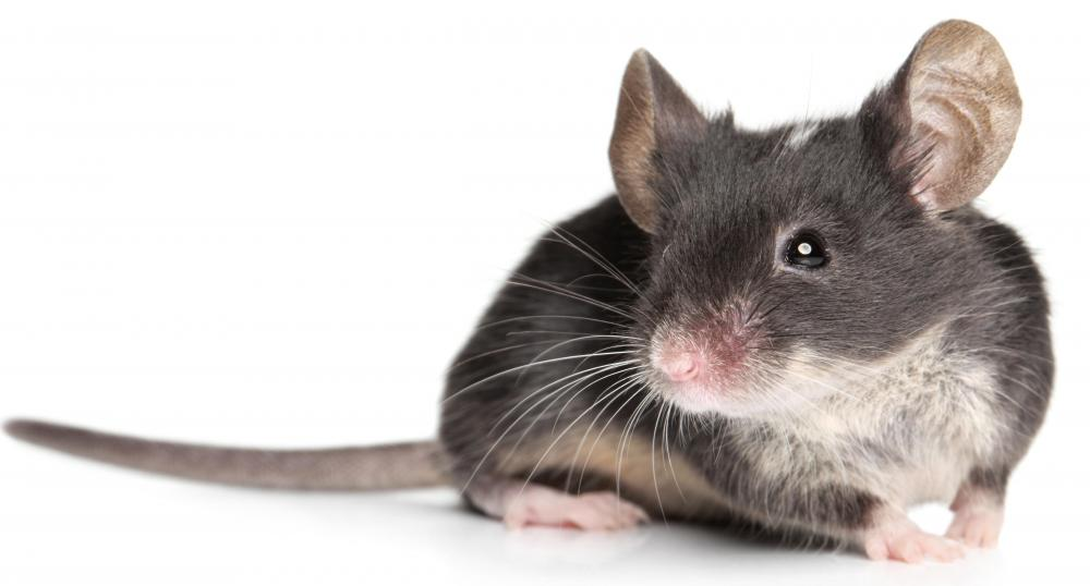 A pet mouse can mostly take care of its self.