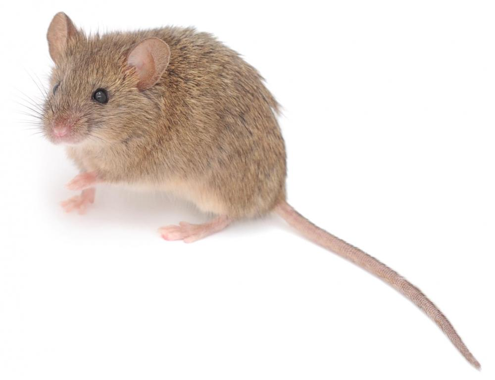 What is the difference between rats and mice with pictures