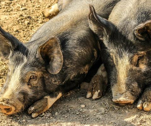 The world's pig population has been decimated by the spread of African swine fever.
