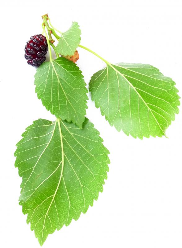 Mulberries contain resveratrol.