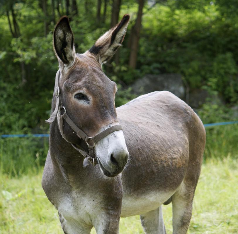 Mules are very intelligent animals.